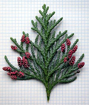 Chamaecyparis lawsoniana - Chamaecyparis lawsoniana showing male cones in spring with diagnostic red colour