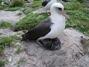 Laysan albatross - The then at least 60-year-old female named Wisdom with her chick, in March 2011