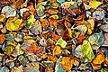 Leaves (2110518922).jpg