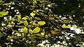Leaves - panoramio (1).jpg