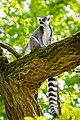 Lemur (27761602978).jpg