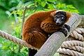 Lemur (35805533293).jpg