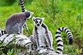 Lemur (37122852696).jpg