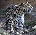 Leopard (4505798515).jpg