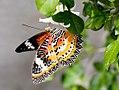 Leopard Lacewing (25470737147).jpg