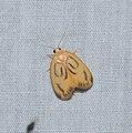 Lepidoptera (24697613076).jpg