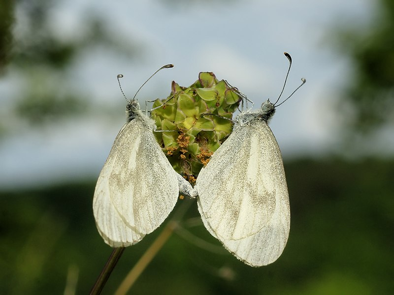 Wood White at Nismes, Belgium