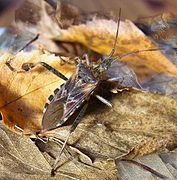 Leptoglossus occidentalis SD2.jpg
