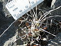 Leuchtenbergia principis (5703766278).jpg