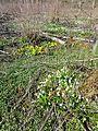 Leucojum vernum + Caltha palustris sl2.jpg