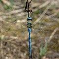 Libélula Azul Blue Dragonfly 1 (222852115).jpeg