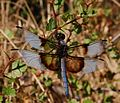 Libellula luctuosa-Male-8.jpg