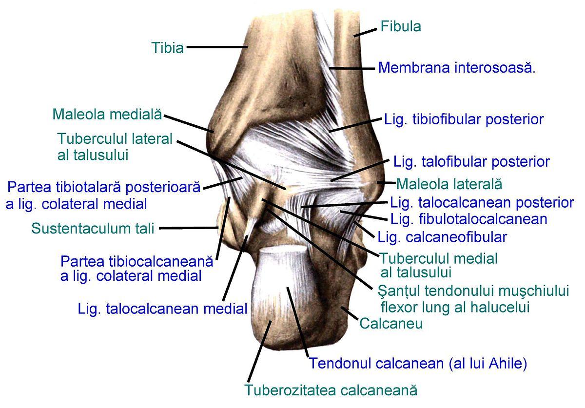 Ligamentul Talofibular Posterior Wikipedia