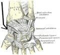 Ligamentumcollateralecarpiradiale.PNG