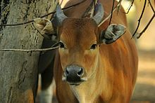 Lightmatter wild cow.jpg