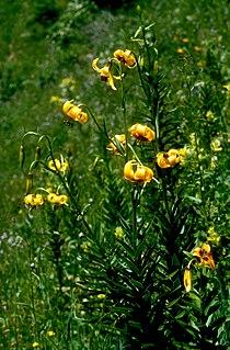 Lil carniolicum subsp ponticum 01Hab Tuerkei Ikizdere 02 07 93.jpg