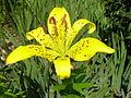 Lilium lancifolium-yellow.jpg
