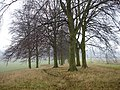 Line of Beeches - geograph.org.uk - 100484.jpg