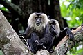 Lion Tailed Macaque (26248444693).jpg