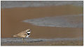 Little Ringer Plover (Charadrius dubius) by Dharani Prakash.jpg