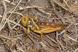 Locust (Kraussaria angulifera) Senegal.jpg