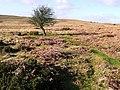 Lone hawthorn - geograph.org.uk - 669236.jpg