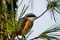 Long-tailed shrike (Lanius schach) 02.jpg