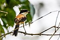 Long-tailed shrike (Lanius schach) 08.jpg
