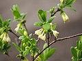 Lonicera caerulea subsp. edulis 2018-04-15 03.jpg