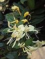 Lonicera japonica 14a.JPG