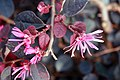Loropetalum chinensis Plum Delight 1zz.jpg