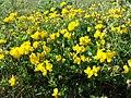 Lotus corniculatus var. corniculatus s. lat. sl8.jpg