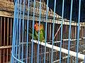 Lovebird caged in Jatinegara Market.jpg