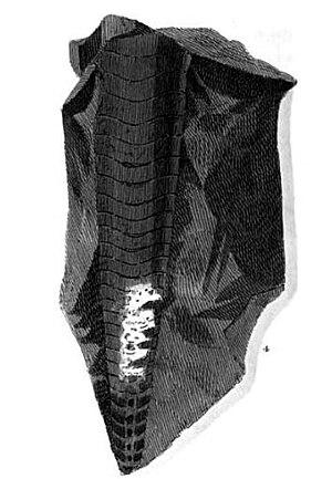 Ashford Black Marble - Image: Loxoceras breynii