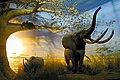 Loxodonta africana2.jpg