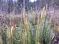 Lycopodium annotinum sl10.jpg