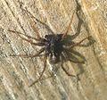 Lycosidae. Male. ( Pardosa sp.) - Flickr - gailhampshire.jpg