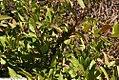 Lyonia lucida 2zz.jpg