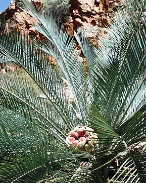 Macrozamia macdonnellii mit Fruchtstand im Stanley Chasm in den MacDonnell Ranges