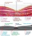 Macula Histology OCT.jpg