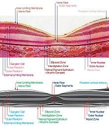 macula histology (OCT)