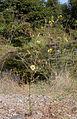 Madia elegans.jpg