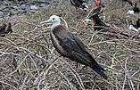 Magnificent frigatebird (female) 01.jpg