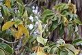 Magnolia-grandiflora-IMG 7147.jpg