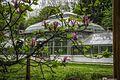 Magnolias in Jevremovac.jpg