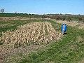 Maize field below Carrsides - geograph.org.uk - 389852.jpg