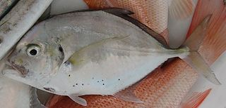 Malabar trevally species of fish
