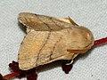 Malacosoma neustria ♂ - The Lackey (male) - Коконопряд кольчатый (самец) (40962375772).jpg