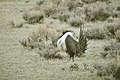Male Greater Sage-Grouse (6948264096).jpg