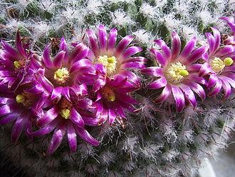 Mammillaria - Flowers